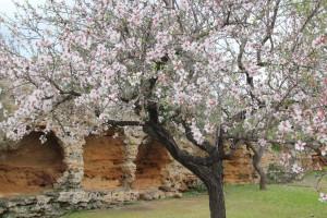 I mandorli in fiore della Valle dei Templi